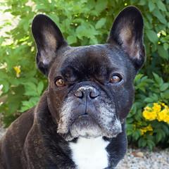 05-11-17 (2755) Good Morning! (Lainey1) Tags: 2755 2755oz 365 theeighthyear oz ozzy dog frenchie bulldog lainey1 elainedudzinski frogdog zendog frenchbulldog ozzythefrenchie leica leicadlux4