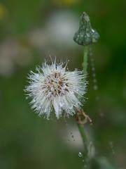 A little weed. (dianeobrien254) Tags: macro weed boleh olympus