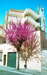 blossom (doggle) Tags: canoneos500n film fujifilm fujifilmeterna250hd tree blossom apartment sorrento italy