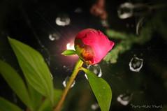 Bouton de Pivoine... ( P-A) Tags: pivoine suruna fleur jardin ornemental nature gouttelettes vert couleurs fuchsia printemps chaleur soleil photos simpa©