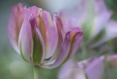 Last one (tulip) (blancobello) Tags: tulip tulpe sony6500 100mm pink bokeh spring frühling