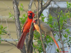 Male and Female Cardinals (Anton Shomali - Thank you for over 900K views) Tags: male female cardinals birds bird red redbird cardinal tree branches back yard backyard backyardsbirds cute beautiful green watching st louis head ears nose wings claws wood nature sky hungry food seeds