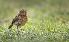 Juvenile Robin. (Explored) (Pat Galka) Tags: robin birds