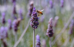 The taste of lavender (Hanna Tor) Tags: insect bee grass plant lavender color hannator outdoor