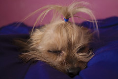 (95Maraa) Tags: dog perro dálmata chihuahua yorkshire manchitas azul blue pink rosa dogs perros pet mascotas horadedormir cama bed blanco night love amor boy girl flickr photo canon photography
