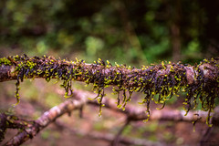 Into the Woods.....Happy Macro Monday (Sudhir Tomar Photography) Tags: macro monday wood monsoon moss western ghat agumbe d5200 intothewoods