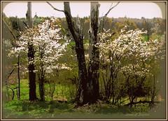 posterized shadbush w maple (edenseekr) Tags: shadbush white floweringtrees nystate countryside digitalillustration posterpaint