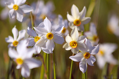 (Alin B.) Tags: alinbrotea nature spring may flower scent smell white narcissus