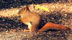 American Red Squirrel (Apollo51x) Tags: field american nose closeup park creature squirrel nature funny munch branch tree fall posing eats wildlife portrait eating furry soft friendly nut wild nuts munching face red peanut tamiasciurus eat cute tail animal brown hudsonicus play rodent log wood forest paws fur autumnal outdoors eyes mammals rodents lichen