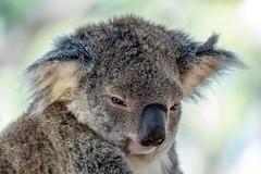 _DSC2438.jpg (David Hamments) Tags: koalahospital koala portmacquarie roadie