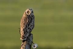 _LAR3837-4 (Larissa Rand) Tags: 2017 lithoijen natuur nikon500mmf4efledvr nikond750 velduil boirds vogels