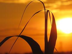 IMG_0051 (gzammarchi) Tags: italia paesaggio natura pianura campagna ravenna borgomontone tramonto sole canna monocrome explore
