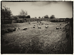 Herd of sheep (enneafive) Tags: sheep flock herd meadow grass oldstyle olympus omd em5 vintage animals grazing