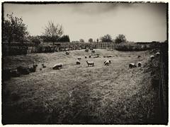 Herd of sheep (enneafive) Tags: sheep flock herd meadow grass oldstyle olympus omd em5 vintage animals grazing