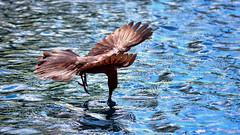 Allow Me ! (vgphotoz) Tags: vgphotoz marculescueugendreamsoflightportal grackle blue usa arizona nature wings allowme naturemasterclass yourbestoftoday