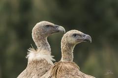 Vautour fauve - Griffon Vulture (mhyrdin) Tags: birds oiseaux vulture vautour guipuzcoa jaizkibel