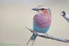 Lilac Breasted Roller-0066 (Coracias caudatus) (dennis.zaebst) Tags: africa namibia lilacbreastedroller roller bird outdoor animal sunrays5 coth5 ngc