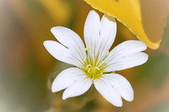 Yellow (katjacarmel) Tags: colors soft flower blossom white macro nature bloem closeup natuur yellow geel spring lente