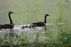 Canada Goose Family (U.S. Fish and Wildlife Service - Midwest Region) Tags: minnesota mn wildlife nature animals animal statepark fortsnelling spring may 2017 mom dad family goose geese canadageese canadagoose goslings gosling mother father minnesotariver river