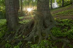 Zonsopkomst in het bos (aj.lindeboom) Tags: forrest sunrise early morning zonsopkomstondergang bos