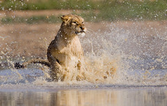 Lion Charge in South Africa (jodell628) Tags: lion chase charge water south africa wildlife