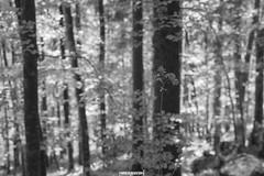 dettaglio. (MarcoAgustoniPhotography) Tags: trentino val sella italia bosco natura alberi dettaglio focus bianco e nero