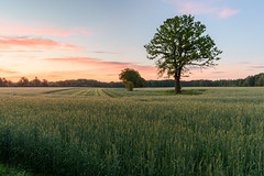 Baum im Frühlingsfeld (webpinsel) Tags: halternamsee hullern landschaft natur sonnenaufgang morgenstimmung morgendämmerung münsterland kornfeld baum wolken