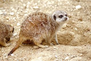 Erdmännchen - Meerkats