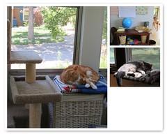 Great Furry Slugs (andrea z) Tags: fdsflickrtoys pete newton percy cat orangecat graycat torpor