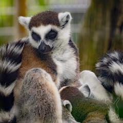 ワオキツネザル (noriqnub) Tags: サル ワオキツネザル 動物園 京都市動物園 lemurcatta monkey zoo kyōtoshi kyōtofu japan jp