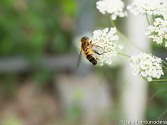 (takafumionodera) Tags: em1 flower ibaraki insect ishioka japan olympus omd ostrichkingdom ダチョウ王国 石岡 花 茨城 虫