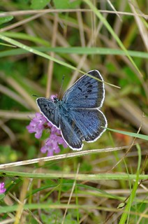 Large Blue (Maculinea arion)          (see description)