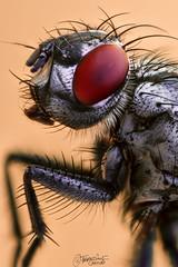 La mosca (Dancodan) Tags: nikon d7100 macro macrofotografía macrofotografíaextrema insectos mosca fly macrophotography insect takumar28mmf35m42 lenteinvertida tubosdeextensión ojos animales naturaleza fb