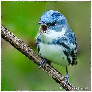 Cerulean Warbler singing