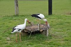 Storchenfamilie beim Nestbau, Frankenhof, Reken, Westmünsterland (friedhelmbick) Tags: storch nest frankenhof westmünsterland