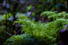 Fern - 02 - Enchanted Forest (Cristian González Photography) Tags: patagonia chileanpatagonia visitchile visitsouthamerica greennature natureperfection naturebrilliance forest fern nothofagus greenforest trekking travelling