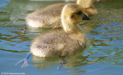 Paddling As Fast As I Can (Kaptured by Kala) Tags: brantacanadensis canadagoose goslings geese goose babies babycanadageese richlandcommunitycollege garlandtexas spring downy fuzzy sunlight adorable paddling feet closeup