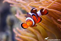 Clownfish (PAPERCUTSKIN) Tags: clownfish clown fish stripes water vlinders aan de vliet vlindersaandevliet