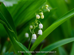 717_0193 (www.kijknaarnatuur.nl) Tags: bloemen leudal lelietjevandalenofmeiklokjeconvallariamajalis planten wit