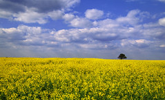 Fields of gold... (Alex Switzerland) Tags: lanscape outdoor countryside yellow sky cloud tree canon eos 6d serbia serbien srbjia colza raps springtime spring primavera field