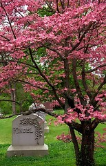 "Cincinnati – Spring Grove Cemetery & Arboretum ""Pink Dogwood Tree"" (David Paul Ohmer) Tags: ohio cincinnati spring grove cemetery arboretum springgrovecemetery gravesites burial grounds death spirit soul deceased graveyard conservatory victorian gothic revival national historic landmark adolph strauch cemetary pink dogwood tree flower bloom"