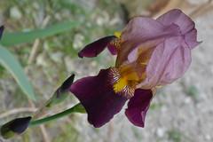 Iris o giaggiolo...