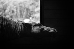 shake (Jen MacNeill) Tags: horse horses equine photography stable farm bw blackandwhite head shake jennifermacneill jennifermacneillphotography
