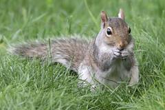 Grey Squirrel 4-29-2017-2 (Scott Alan McClurg) Tags: scarolinensis sciuridae sciurus animal cold deck eat eye life mammal nature naturephotography neighborhood perch perching portrait rhodent spring squirrel suburbs wild wildlife