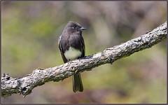 Flycatcher Portrait (tdlucas5000) Tags: flycatcher bird phoebe bokeh creamybokeh sunlight sigma120400 california southern dapper