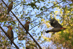 Male Red-Bellied Woodpecker (iofdi) Tags: male redbellied woodpecker montage hss