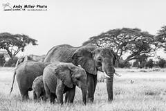 20160217-08-04-26_B017517 BW 2000px (ajm057) Tags: 8takenusing africa africanelephantloxodontaafricana africanbushelephantloxodontaafricana amboselinationalpark andymillerphotolondonuk blackwhitephotography elephantidaeelephants kenya loxodonta mammal nikond810 proboscideaelephants reservesparks wildlifephotography african elephant