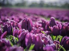 P4230069 (Finalfoto.nl) Tags: tulpen bollen tulps kleuren tulp tulips rood geel groen bloemen bloem