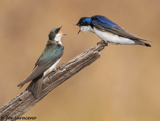 Tree Swallows (female and male)