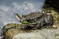 """One froggy evening (*Millie* """"Catching up with you soon!"""") Tags: frog froggy green pond water stoeversdampark lebanonpa spring nature outdoors animalplanet closeup"""